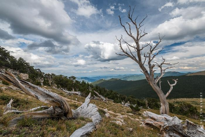 Cool Windblown Trees on Mount Evans